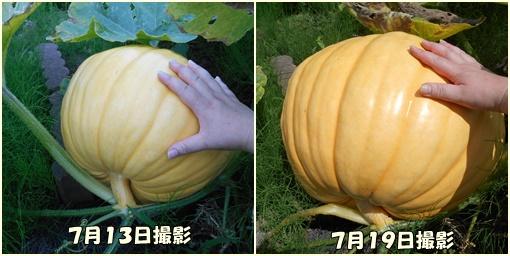 ハロウィンかぼちゃの成長