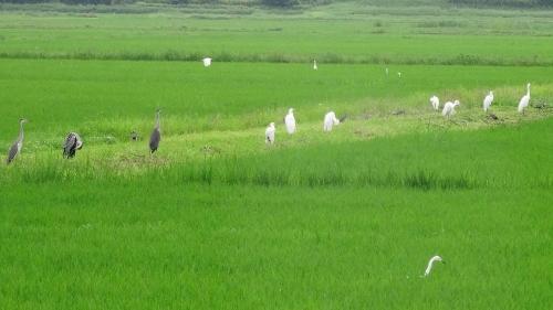 水田の鳥たち