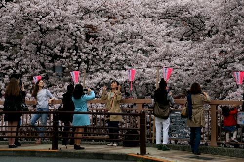 目黒川の桜 1
