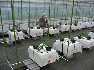 トマト新栽培5