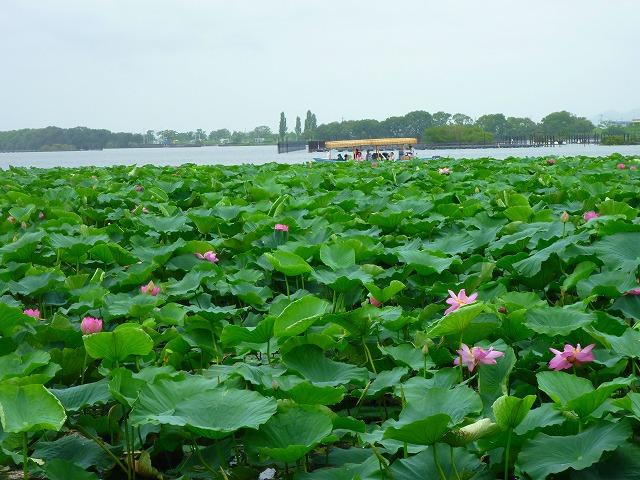 15,7,22 蓮(琵琶湖) (3)