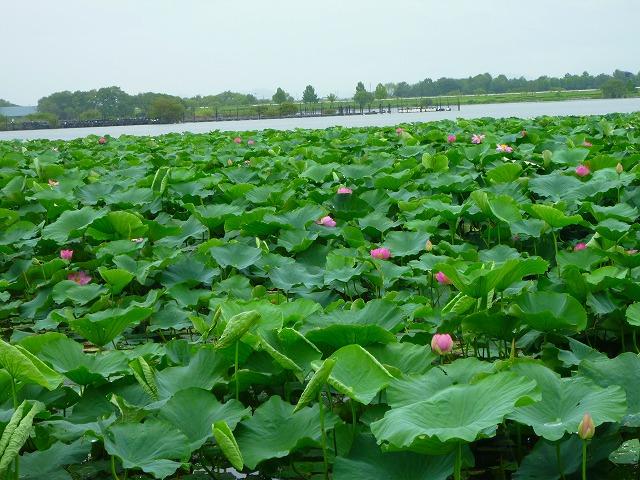 15,7,22 蓮(琵琶湖) (2)