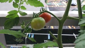 tomato150706.jpg