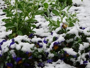 15ビオラと雪