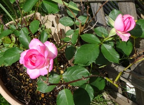 15バラ ピンク