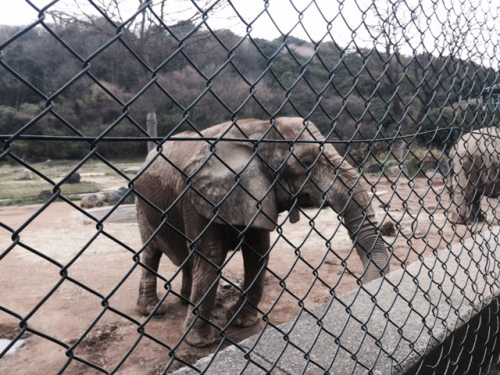 アフリカ象