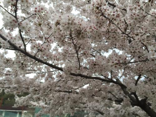 ひろばの桜