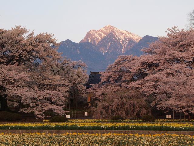 甲斐駒ヶ岳と桜