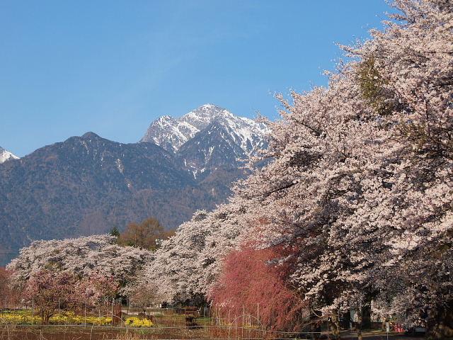 甲斐駒ヶ岳と桜2