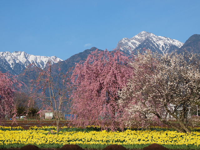 甲斐駒ヶ岳と桜3