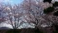 20150405中央公園の桜