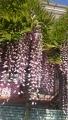 20150502藤の花ピンク1