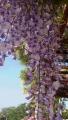 20150502藤の花紫1