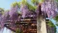 20150502藤の花紫2