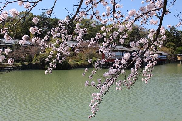 2015.04.08 お花見(長岡天満宮)①-5