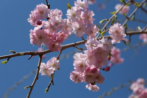2015.04.08 お花見(長岡天満宮)①-6