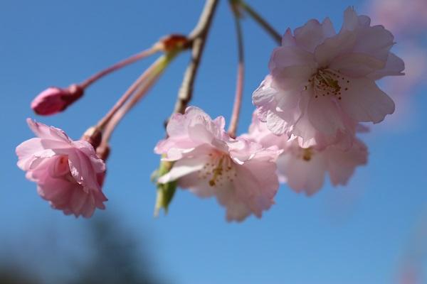 2015.04.08 お花見(長岡天満宮)①-7