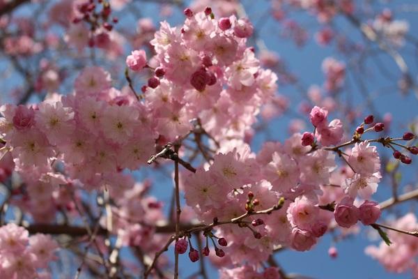 2015.04.08 お花見(長岡天満宮)①-9