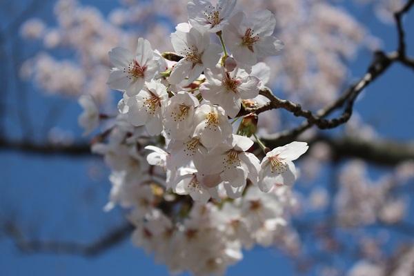 2015.04.08 お花見(長岡天満宮)①-10