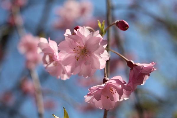 2015.04.08 お花見(長岡天満宮)①-11
