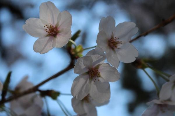 2015.04.08 お花見(長岡天満宮)①-15