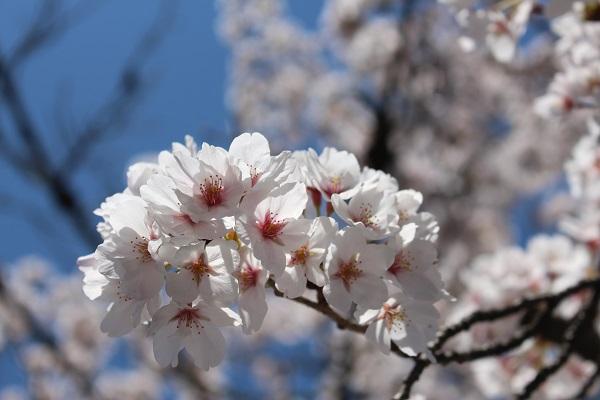 2015.04.08 お花見(長岡天満宮)①-16