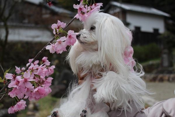 2015.04.19 柳谷観音-4
