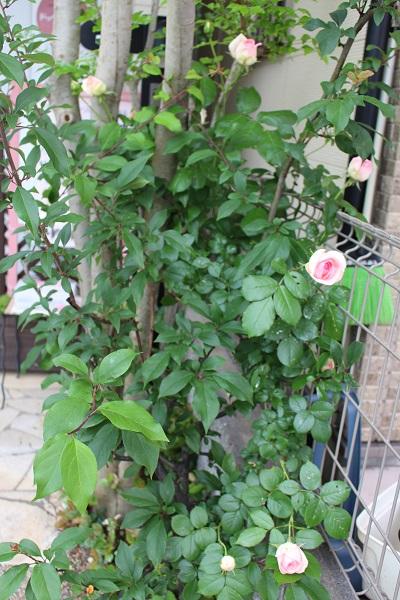 2015.05.14 薔薇が咲いた!-1