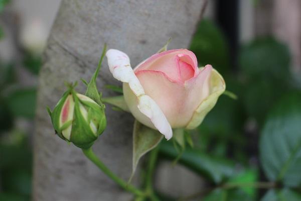 2015.05.14 薔薇が咲いた!-2