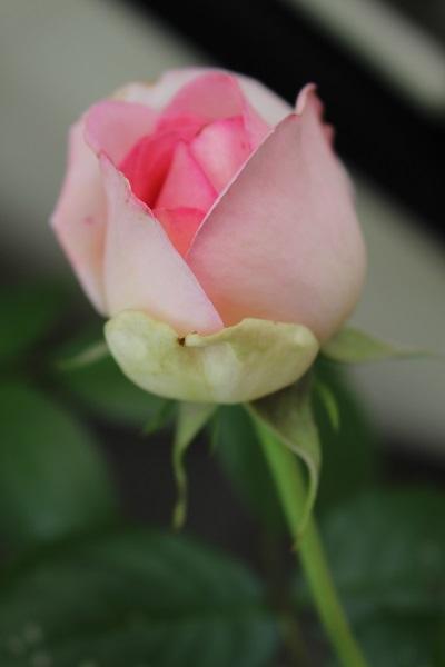 2015.05.14 薔薇が咲いた!-3