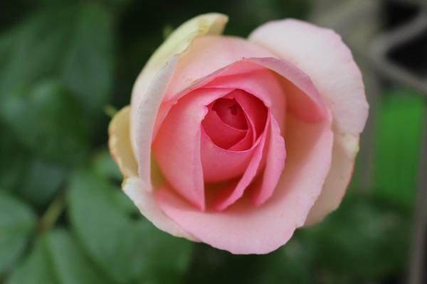 2015.05.14 薔薇が咲いた!-4