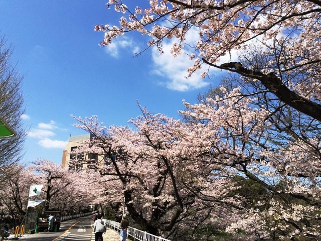 千葉大の桜並木