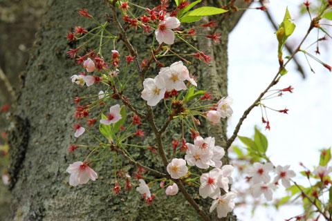 1504桜3