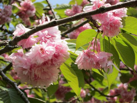 1504八重桜3