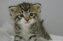 宮城仙台・福島・岩手でミックスの子猫をお探しなら