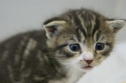 宮城・秋田・岩手・青森でミックスの子猫をお探しなら鈴花へ