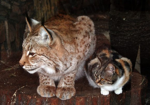 ⑤オオヤマネコと猫の大きさ比較