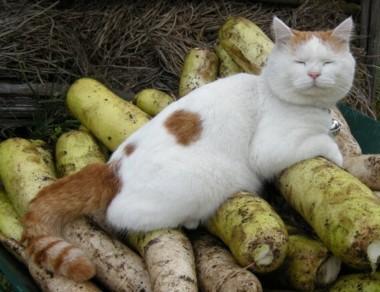 ③大根上猫