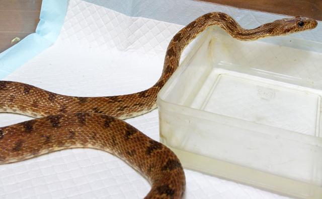 カンムリヘビ