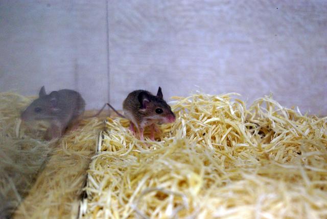アフリカチビネズミ