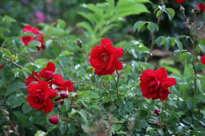 150703赤いバラ