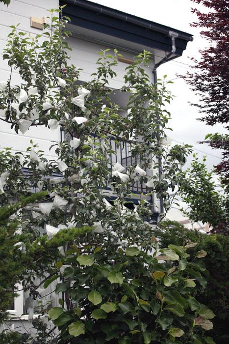 150706リンゴ