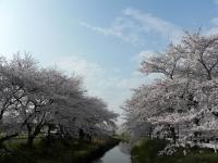 川越市 伊佐沼 桜