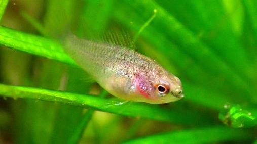 スカーレットジェム稚魚 2014-05-12 (38)
