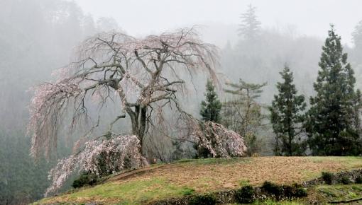 2810与一野桜15433