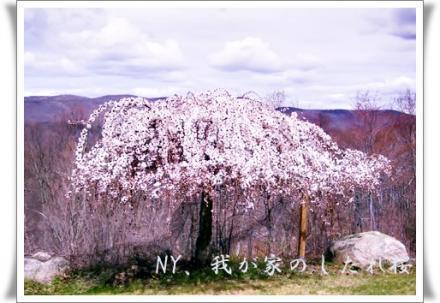 NY,我が家の枝垂れ桜
