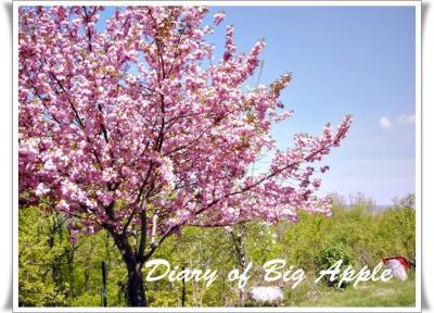 NY,庭の八重桜