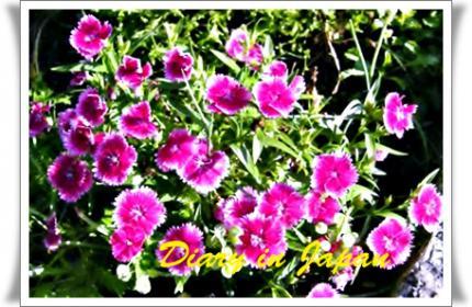 NYの庭の撫子
