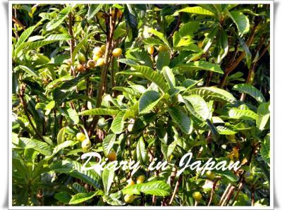 庭の枇杷の木