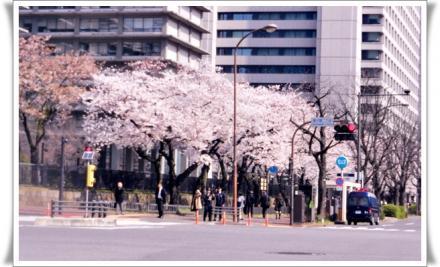 霞が関の桜